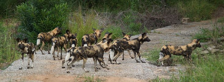 African wild dog (L. p. pictus) pack, Kruger National Park, South Africa