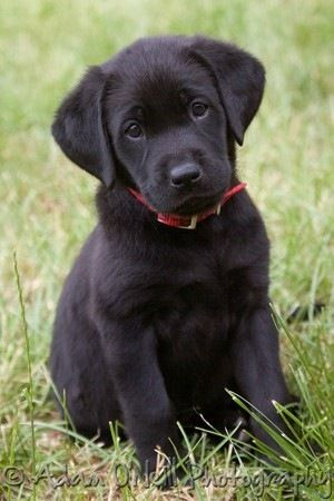 black labrador puppy. Labs are just the cutest!