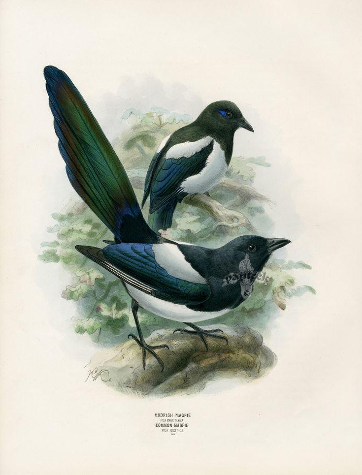 Dressers Birds of Europe 1871-1896