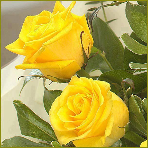 rosas amarillas on Pinterest | Yellow Roses, Wallpapers and ...