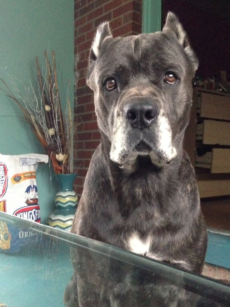 The 25 best brindle cane corso ideas on pinterest cane corso blue brindle cane corso malvernweather Images