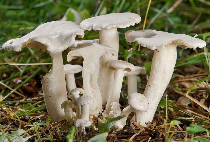 41 Witte bundelridderzwam_Lyophyllum_Connatum_02_cropped.jpg  41Witte bundelridderzwam_Lyophyllum_Connatum_02_cropped.jpg