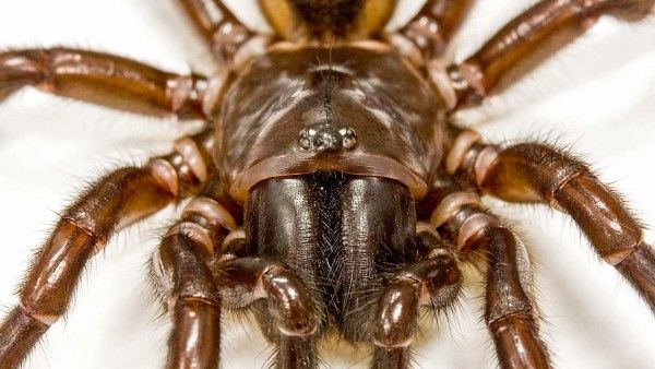 Venom from this funnel-web spider and other arthropods may become green insecticides.
