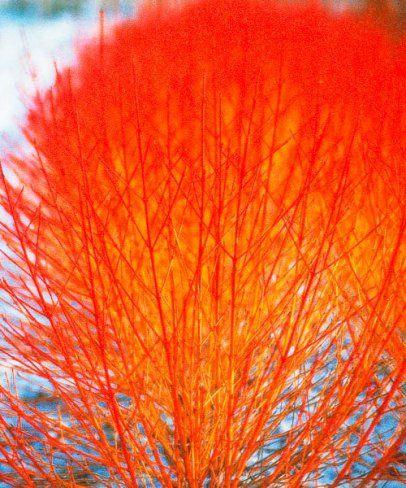 Veresgyűrű som, Cornus sanguinea 'Winter Flame
