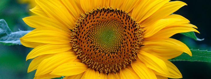 Helianthus annuus – girasole  L'immagine classica del sole in giardino per tutta la stagione http://www.cosedicasa.com/helianthus-annuus-girasole-51506/