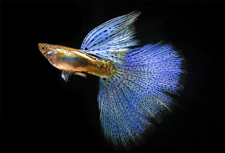 Blue grass guppy fish