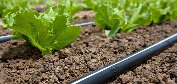 Cel mai folosit sistem cand vine vorba de irigatii este banda de picurare. Asigura eficienta maxima prin dozarea exacta a apei pentru fiecare planta.