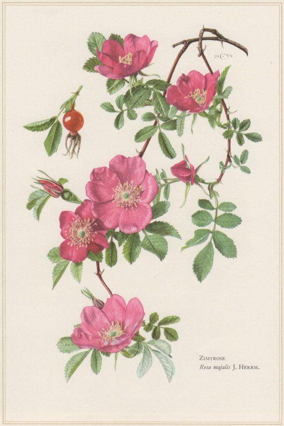 1960 Vintage Botanical Print Cinnamon Rose Rosa by Craftissimo