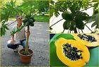 """SEEDS - Dwarf Hawaiian Low Bearing Solo Papaya """"Waimanalo"""" Easy Grow in Pots! Container #hawaiianpapaya #loweasy #seedsgrow"""