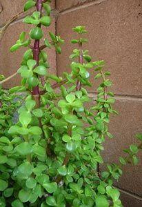 Arbusto japonés, Árbol japonés, Hierba de los elefantes, Verdolaba arbustiva, Verdolaga arbórea, Planta de la moneda