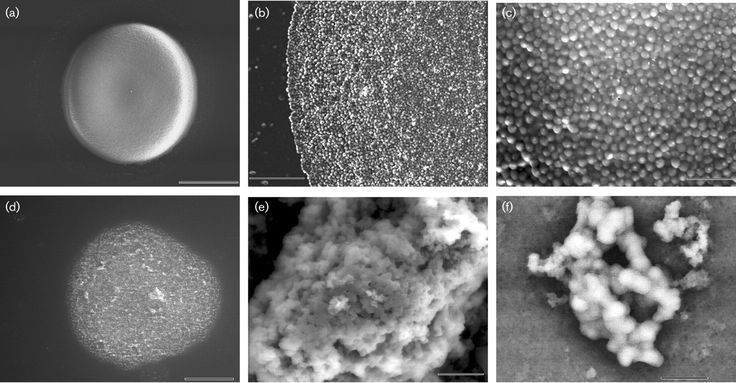 Trichococcus patagoniensis  [000.010.415]