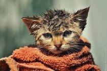 Se você já tentou dar banho em um gato, com certeza ficou com cicatrizes da guerra por alguns dias. Seu bichano vai espernear, arranhar, miar e até uivar se você colocá-lo debaixo d'água. Mas apesa…
