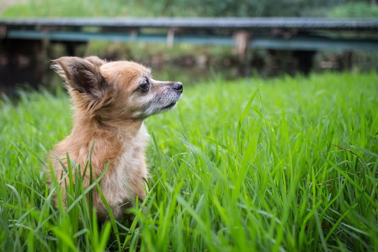 Indy my Chihuahua enjoying some time in the park.