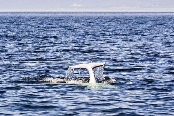 A Beluga Whale at the confluence of the St Lawrence and Saguenay rivers, near Tadoussac village, Quebec, Canada