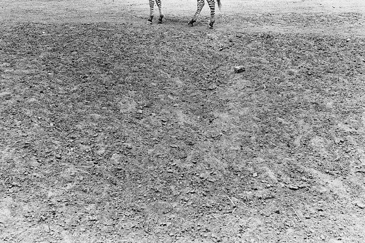 I swear I saw a zebra that day (I) From N&S Shop