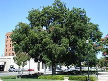 Pecan - Wikipedia, the free encyclopedia