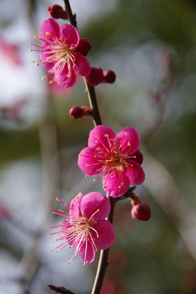 Plum blossom ume