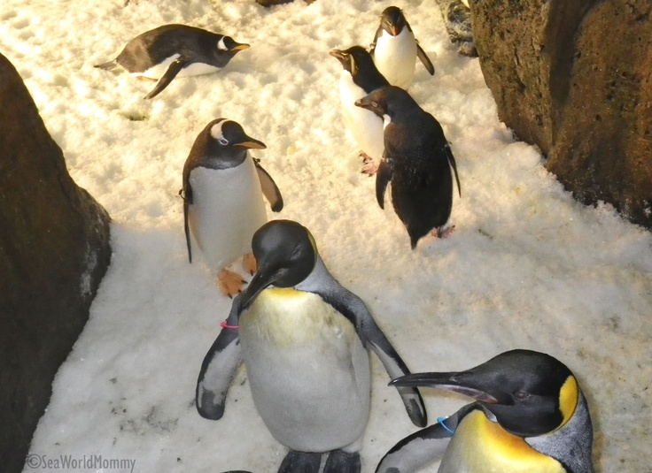 Best Penguin Study Images On Pinterest Penguin Art Penguins - Penguin in japan happily walks to local fish market everyday for lunch