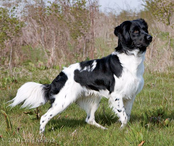 DOG BREED OF THE WEEK: The Stabyhoun is rare in the U.S., but extremely popular in its native Netherlands. Read about this all-around great dog.