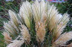 How to Care for Pampas Grass   Garden Guides