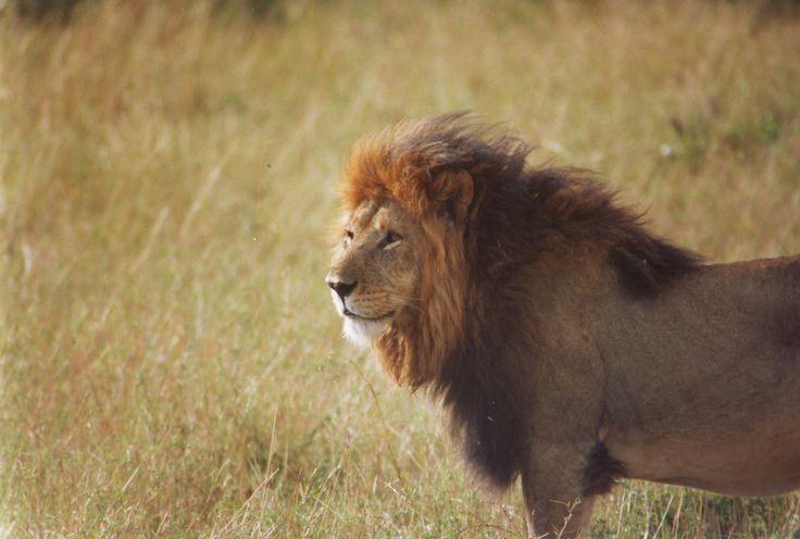 Secondo le stime a Masai Mara vivono circa 250-300 leoni, vale a dire la più alta densità in Africa. È molto facile avvistarli, soprattutto nei tratti aperti di savana.  ♦♦ According to estimates, around 250-300 lions live in the Masai Mara – the highest density in the whole of Africa. It is very easy to spot them, especially in the open tracts of the savannah.   www.kenyanonsolosafari.com facebook me: on.fb.me/152wwWh