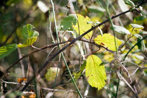 33 best brambles thorns and briar images on pinterest