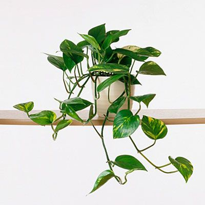 Hard-to-kill houseplant: devil's ivy (Epipremnum)