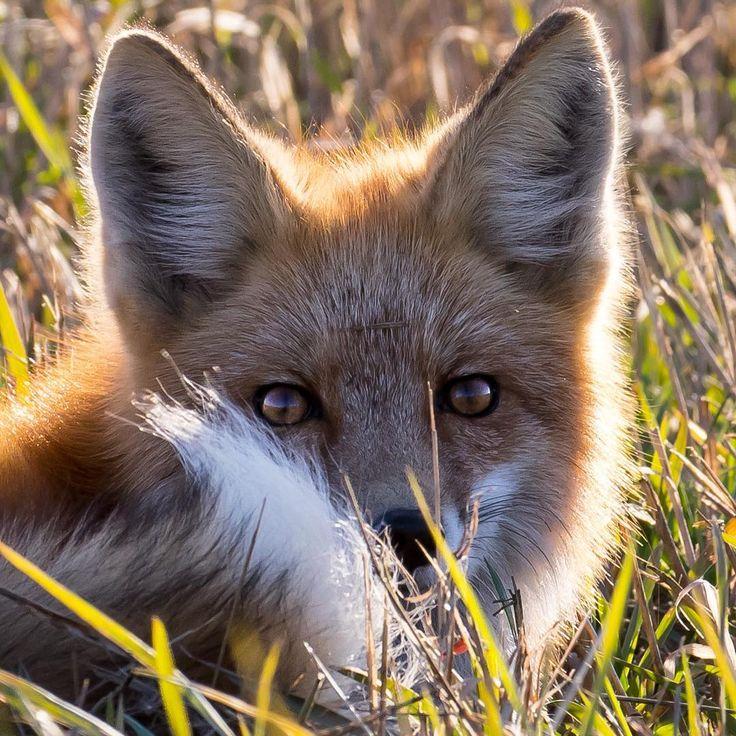Лисичка картинки с волками