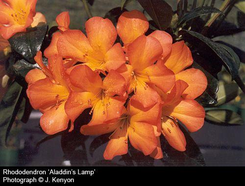 Vireya Rhododendrons