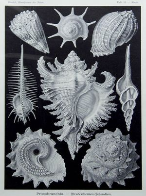 Prosobranchia. - Borderkiemen-Schnecken. by Ernst Haeckel