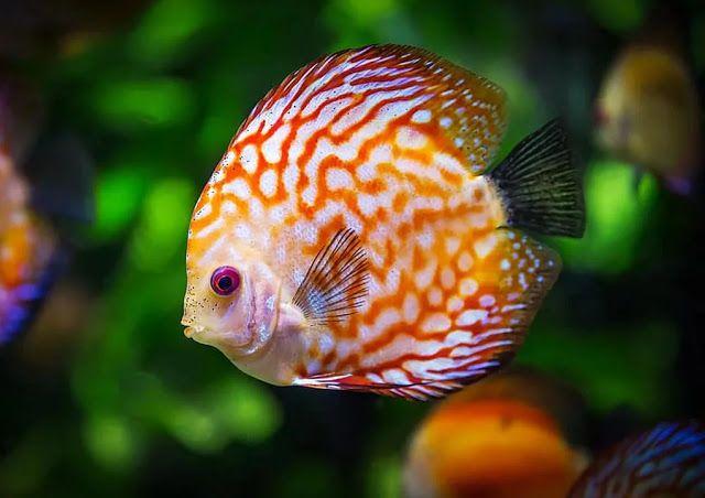 Pin By Tiffany Sexton On Discus Fish Ii In 2020 Community Fish Tank Freshwater Fish Tropical Fish Aquarium