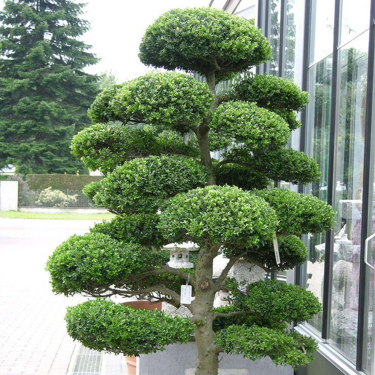 ilex crenata kinme bonsai cloud tree japanese holly. Black Bedroom Furniture Sets. Home Design Ideas