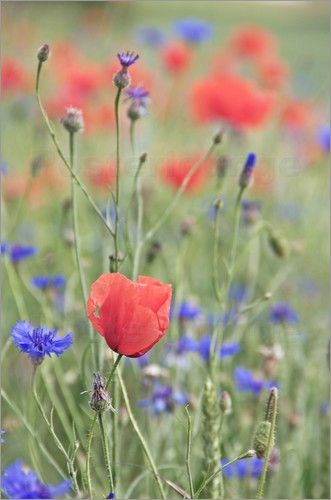 Zarter Mohn im Kornblumen Feld Ein Muss im Garten