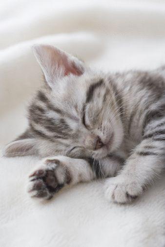 American shorthair sleeping