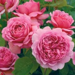'Princess Alexandra of Kent' David Austin Rose - bushy, upright growth with fragrant, glowing-pink flowers.