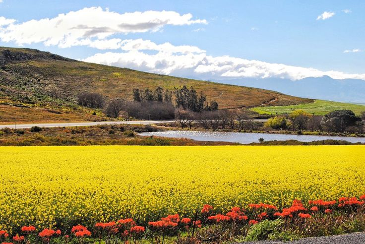 The Overberg, Canola Fields