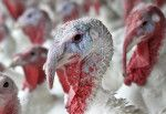 10 Things You Didn't (Need to) Know About Turkeys