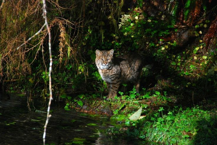 The Bobcat found in Olympic National Park Washington State