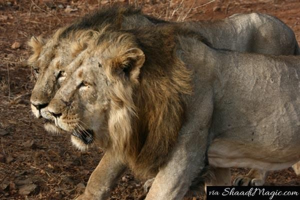 Proceed to Gujarat for spotting the Asiatic Lion at Sasangir. After you check the different animals, you would know the beauty of nature in the true sense.