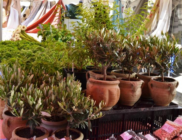 16 best shamrock plants images on pinterest shamrock for Fertilizing olive trees in pots