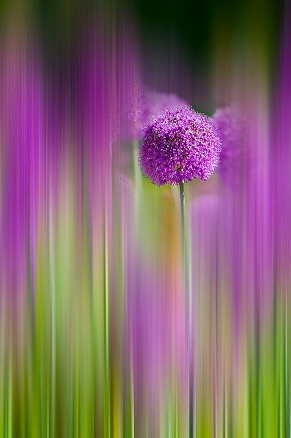 Allium 'Purple Sensation' | Very cool photo blog