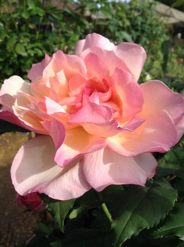 103 besten rosenwelt world of roses bilder auf pinterest. Black Bedroom Furniture Sets. Home Design Ideas