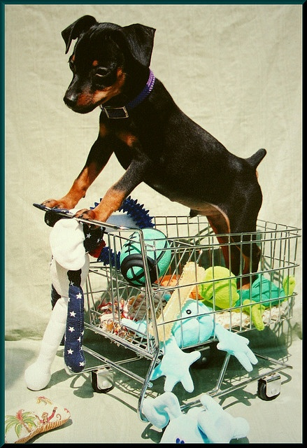 miniature pinscher, min pin.  He thinks he is so big and tuff