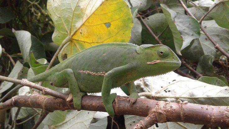 Pregnant Flap-necked Chameleon found on farm...