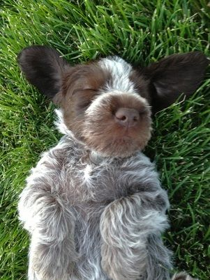 Wirehaired Griffons of Colorado is quite excited to announce our Lucy Girl's confirmed pregnancy.  A spring litter on or around March 13, 2015 is anticipated. If you love the idea of a wirehaired...