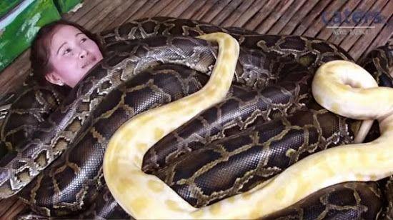 Os visitantes do Zoo Cebu City podem, se desejarem, ter uma massagem grátis feita por quatro pítons birmanesas de 20 pés.
