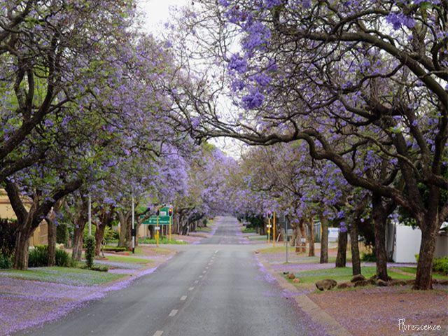Jacarandas in bloom.  Rupert Street, Brooklyn, Pretoria, (c) Florescence