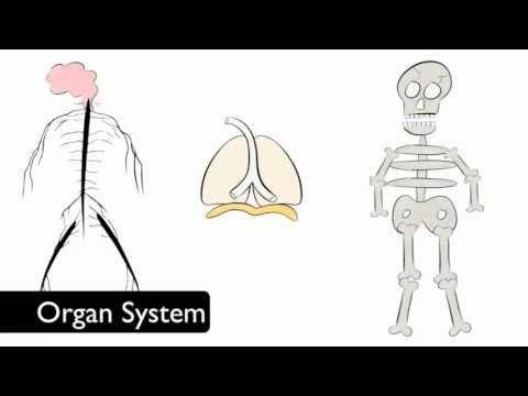 Cells > Tissues > Organs > Organ Systems