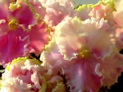 """Фиалка Sweet Lady Love. Цветок: Довольно крупные ярко-розовые полумахровые и махровые """"анютки"""" с прелестной белой бахромой по краю лепестков. Верхние лепестки украшены золотисто-зелёной рюшей. Очень обильное нежное и изысканное цветение.  Розетка: Волнистая, красиво формирующаяся компактная розетка."""