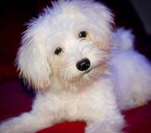 Maltese X Poodle Puppy